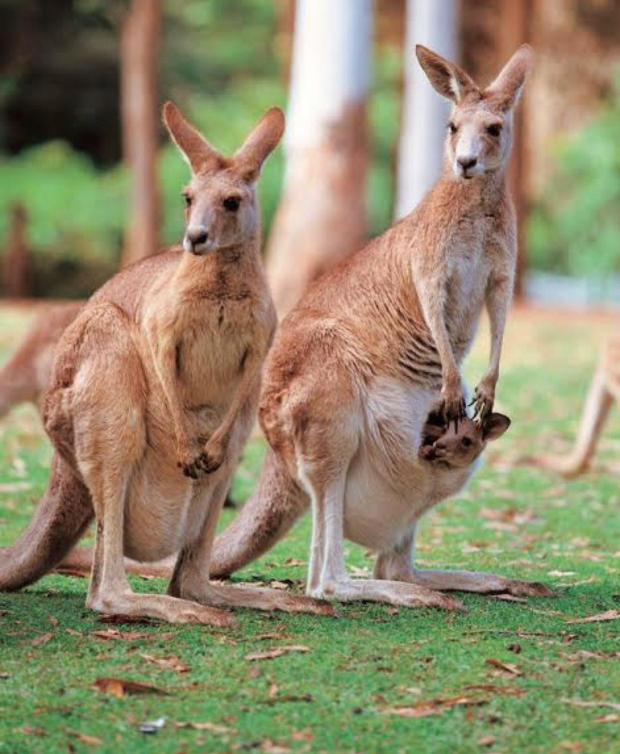 الكنغر الاسترالي